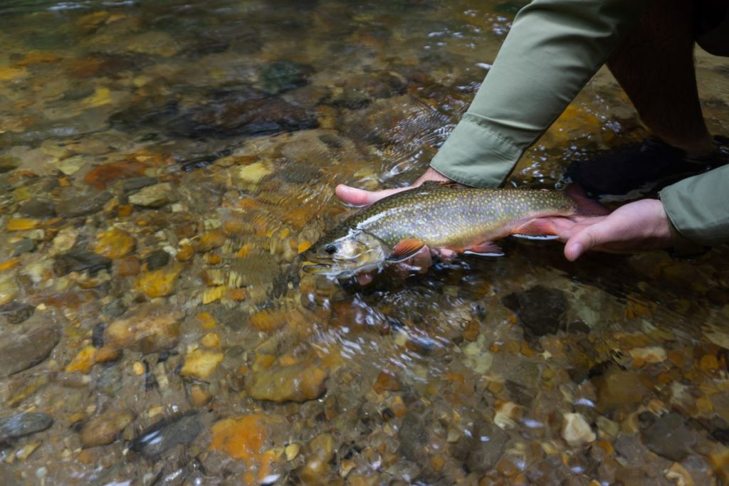 brook trout in Chattahoochee national forest